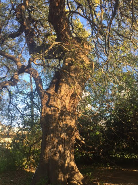 Here is that Treaty Oak in Austin, TX. It was a fun experience after hearing the podcast about it.