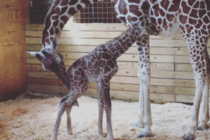 rs_1024x1024-170415115728-634.april_giraffe_4.cm.41517